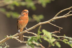 House finch Royalty Free Stock Image