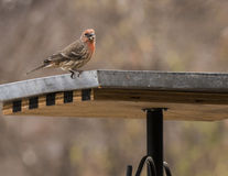 House finch. A house finch on a bird table Stock Image