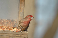 House Finch Royalty Free Stock Photography