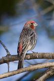 House Finch stock photography