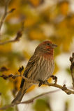 House Finch in Autumn Stock Image