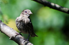 House Finch with Avian Conjunctivitis Disease. Female House Finch Suffering with Avian Conjunctivitis Disease Royalty Free Stock Photo
