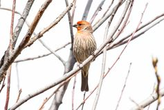 House Finch at Barr Lake State Park stock photo