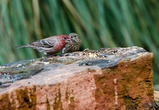 House Finch bird, Athens, Georgia. Male red and female House Finches eating seeds on rock, Haemorhous mexicanus, backyard birding, Athens, Georgia Royalty Free Stock Images