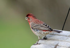 House Finch on Bird Feeder Stock Photo