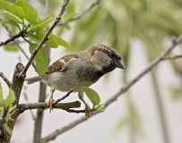 House sparrow bird. House finch bird perched in tree waiting to swoop down and snatch some diners food Royalty Free Stock Photography