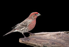 House Finch On Black Stock Image