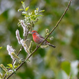 House Finch on branch Stock Image