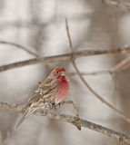House Finch (Carpodacus mexicanus) Royalty Free Stock Images