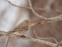 House Finch (Carpodacus mexicanus) Stock Images