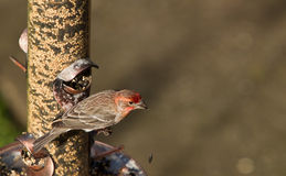 House Finch (Carpodacus mexicanus) Royalty Free Stock Photos