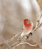 House Finch, Carpodacus mexicanus Royalty Free Stock Photos