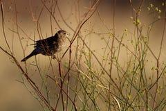 House Finch, Carpodacus mexicanus Stock Photo