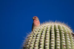 House Finch, Carpodacus mexicanus. Male House Finch in his winter plumage atop a Giant Saguaro in Arizona's Sonoran Desert royalty free stock photo