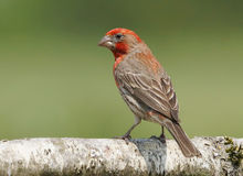 House Finch - Carpodacus mexicanus Royalty Free Stock Photo
