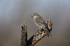House finch, Carpodacus mexicanus Royalty Free Stock Image