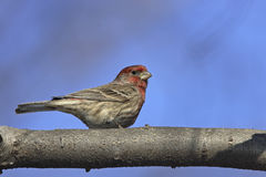 House Finch (Carpodacus mexicanus frontalis) Royalty Free Stock Image