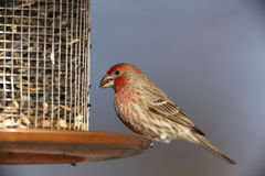 House Finch (Carpodacus mexicanus frontalis) Stock Images