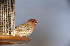 House Finch (Carpodacus mexicanus frontalis). Male at feeder Stock Photography