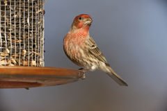 House Finch (Carpodacus mexicanus frontalis). Male at feeder Royalty Free Stock Photography