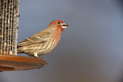 House Finch (Carpodacus mexicanus frontalis) Royalty Free Stock Photos