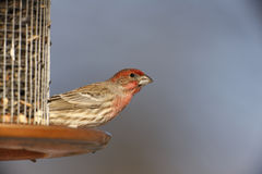 House Finch (Carpodacus mexicanus frontalis). Male at feeder Royalty Free Stock Photos