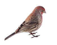 House Finch, Carpodacus mexicanus, Isolated Stock Photo