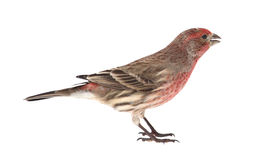 House Finch, Carpodacus mexicanus, isolated Royalty Free Stock Image