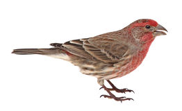 Isolated House Finch Stock Photo