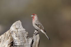 House finch, Carpodacus mexicanus Royalty Free Stock Images
