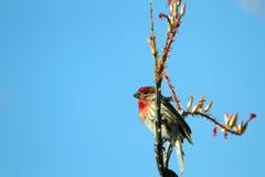 House Finch, Carpodacus mexicanus Royalty Free Stock Photo