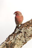 House Finch (Carpodacus mexicanus) Stock Photography