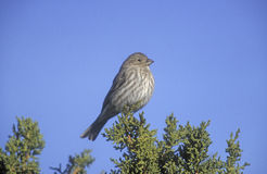 House finch, Carpodacus mexicanus Royalty Free Stock Photography