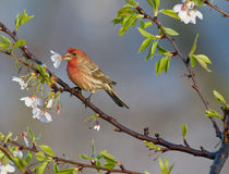 House Finch and Cherry Blossoms Royalty Free Stock Photos