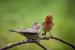 House Finch couple Stock Photo