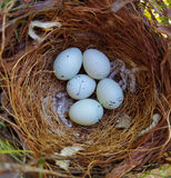 House Finch Eggs Royalty Free Stock Photography