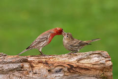 House Finch Feeding Young. A male house finch feeds a young bird Stock Photo