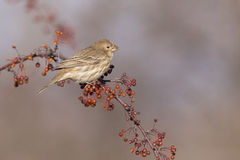 House Finch female Royalty Free Stock Photo