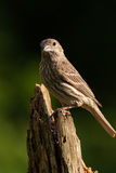 House Finch (Female). A female House Finch is perched on a pine stump Royalty Free Stock Image