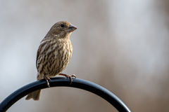 House Finch. A female house finch perches on a metal rod Royalty Free Stock Photos