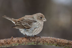 House Finch (Female). A female House Finch trying to stay warm in the winter Stock Photography