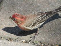 House Finch Foraging for Seeds Stock Photography