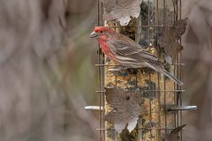 House Finch - Haemorhous mexicanus. A male House Finch is perched on a bird feeder holding a seed in his beak.  Taylor Creek Park, Toronto, Ontario, Canada royalty free stock photos