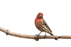 House finch with head cocked Royalty Free Stock Image