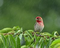 House Finch In The Rain Stock Image