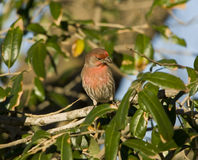 House Finch-Male Royalty Free Stock Photos