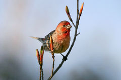 House Finch Male Royalty Free Stock Photos