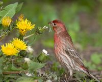 Free House Finch Male Royalty Free Stock Photos - 666368