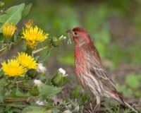 House Finch male. Carpodacus mexicanus - with dandelion Taraxacum officinale Royalty Free Stock Photos