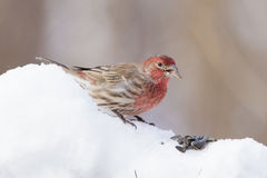 House Finch male Stock Photo